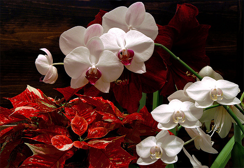 Poinsettia and Phalaenopsis