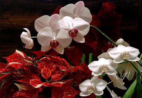 Poinsettia and Phalaenopsis