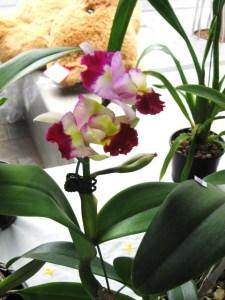 Cotters Mrkt Orchid Flinders St Townsville-25 March 2012