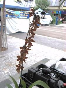Cotters Mrkt Orchid Flinders St_25 Mar 2012 Townsville