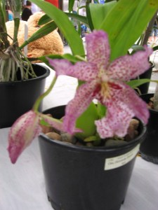 Cotters Mrkt Orchids_Flinders St Townsville_25 March 2012
